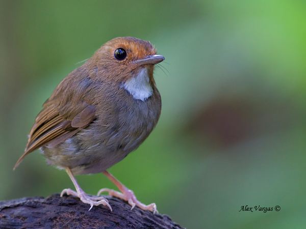 Rufous-browed Flycatcher by Alex Vargas