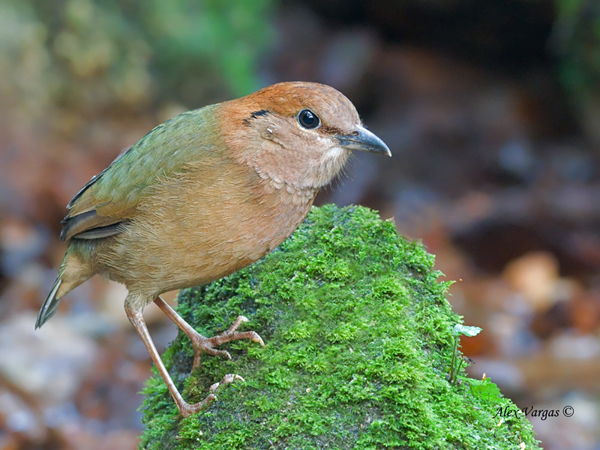 Rusty-naped Pitta by Alex Vargas