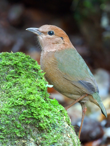 Rusty-naped Pitta - 2 by Alex Vargas