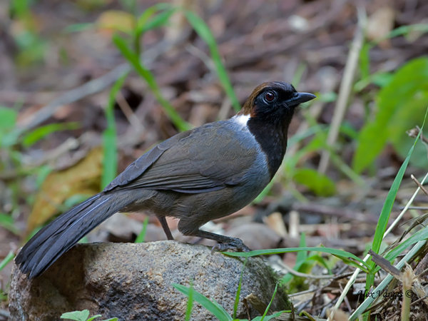 White-necked Laughingthrush by Alex Vargas