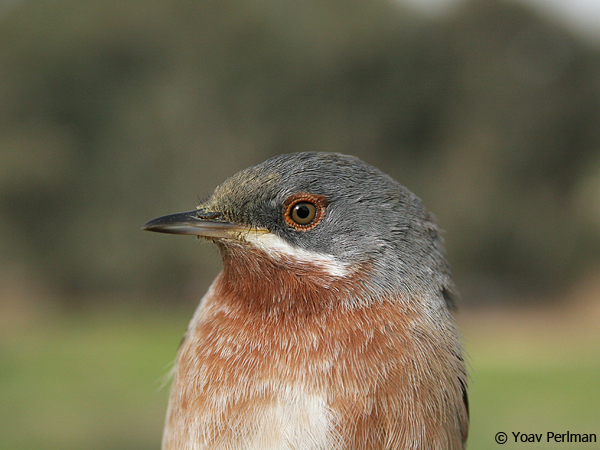 Eastern Subalpine Warbler, Israel, March 2007. Yoav Perlman