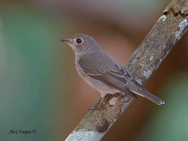 Asian Brown-Flycatcher by Alex Vargas
