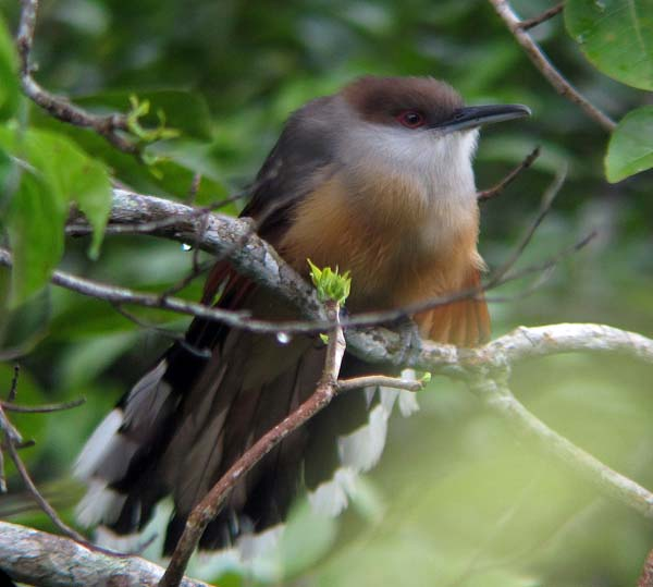 Post image for Jamaica's Endemic Birds – The First Six
