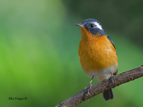 Mugimaki Flycatcher - male by Alex Vargas