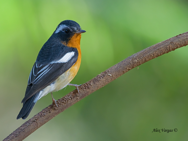 Mugimaki Flycatcher by Alex Vargas