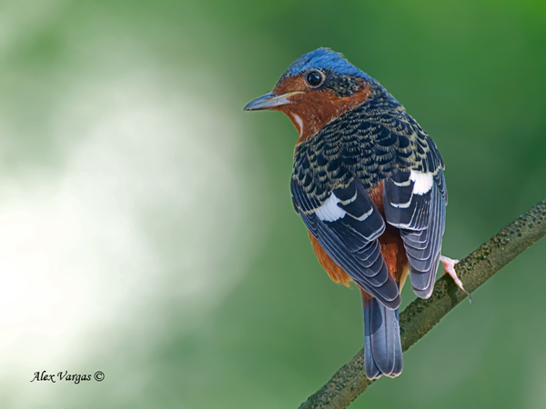 White-throated-Rock-Thrush - male by Alex Vargas, Thailand 2011