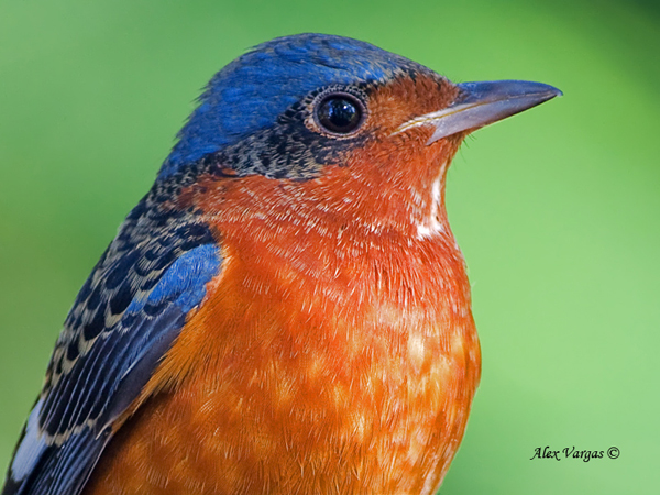 White-throated Rock-Thrush - portrait by Alex Vargas