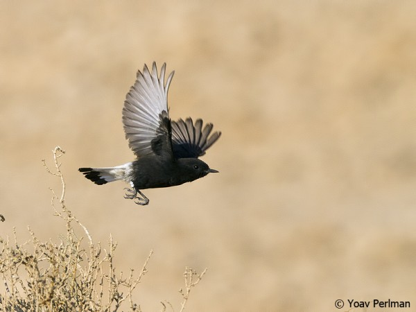 Basalt Wheatear taking off at Uvda Valley, southern Israel