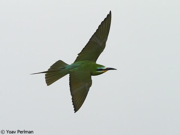 Blue-cheeked Bee-eater in the Arava Valley, southern Israel