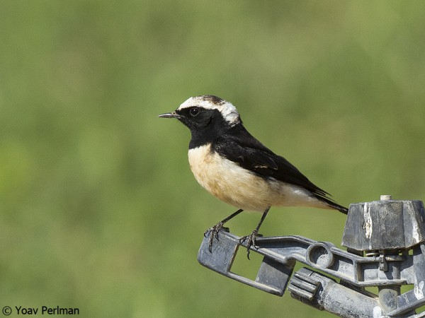 Cyprus Wheatear in the southern Arava Valley, Israel