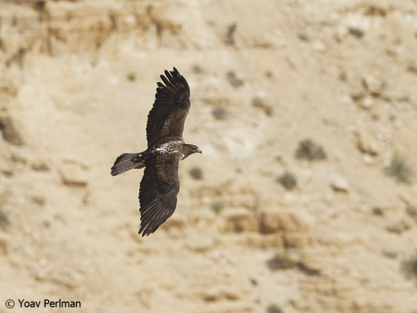 Bonelli's Eagle soaring over a canyon above the Dead Sea, Israel