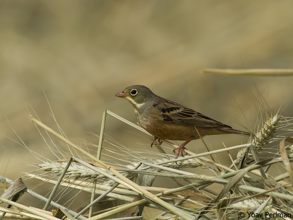 Ortolan Bunting in the northern Negev, Israel