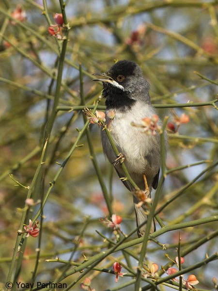 Rueppell's Warbler singing from a Capparis decidua bush at Eilat, Israel.