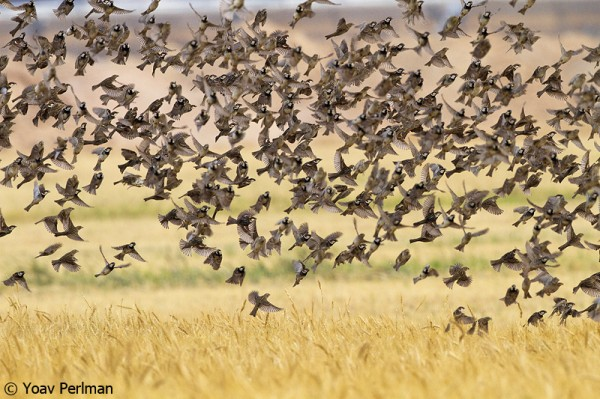 Spannish Sparrow flock feeding in a wheat field near Yotvata, southern Israel