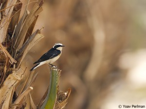 Pied Wheatear of the rare white-throated morph in a date plantation near Eilat, southern Israel
