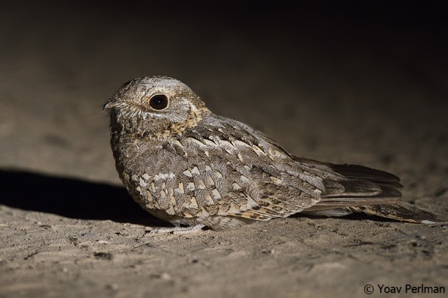Nubian Nightjar - adult