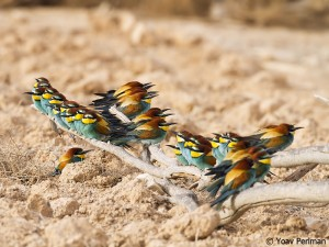 European Bee-eaters, southern Negev, Israel, May 2012.