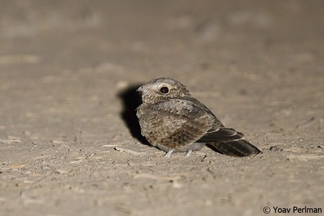 Nubian Nightjar - juvenile