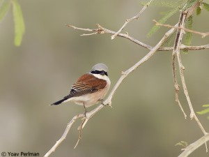 Red-backed Shrike, Negev, Israel, May 2012