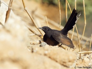Black Bush Robin, southern Negev, Israel, May 2012