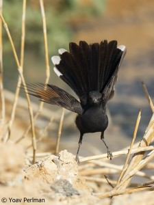 Black Bush Robin, southern Negev, May 2012