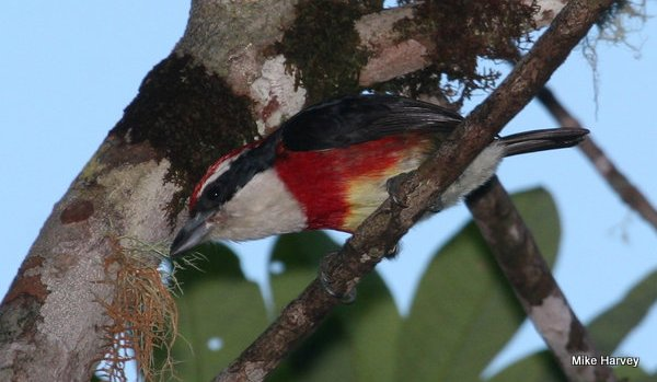 Sira Barbet Capito Fitzpatricki  is closely related to Scarlet-banded Barbet Capito Wallacei. Photo: Mike Harvey