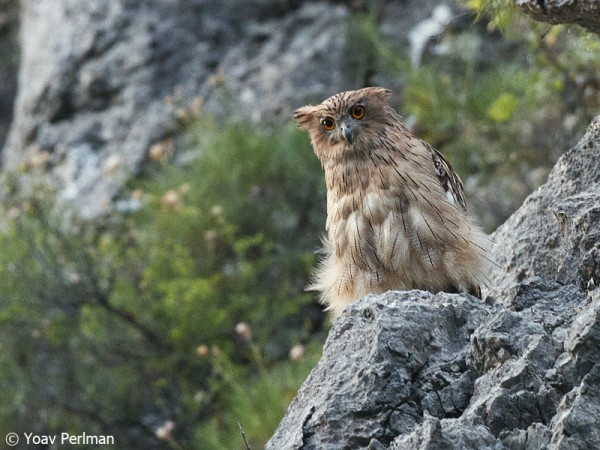 Brown Fish Owl, Turkey, June 2012