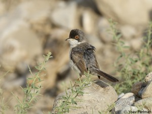 Menetries's Warbler, Birecik, SE Turkey, June 2012