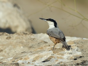 Eastern Rock Nuthatch, Halfeti, SE Turkey, June 2012