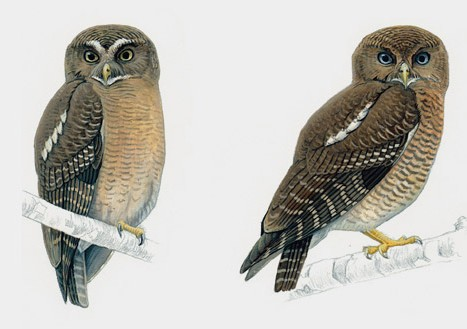 Cebu Hawk Owl and Camiguin Hawk Owl. John Gale