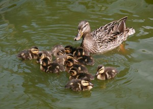 Female mallard, Anas platyrhynchos, with ducklings.