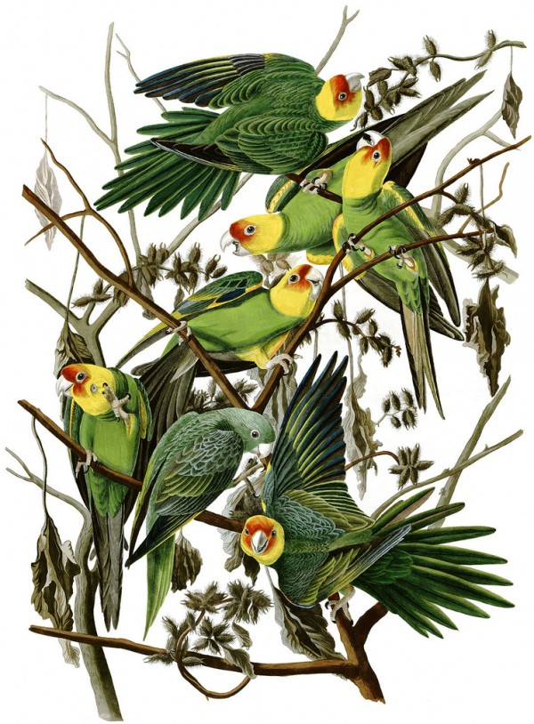 Post image for Journal Club: Extinct Carolina parakeet provides glimpse into evolution of American parrots