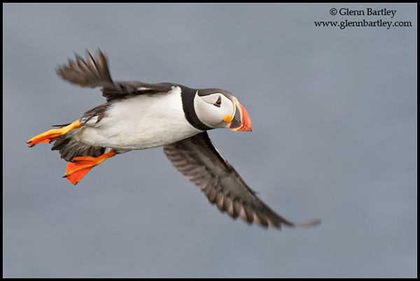 Atlantic Puffin (Fratercula arctica) flying along the coastline of Newfoundland, Canada.