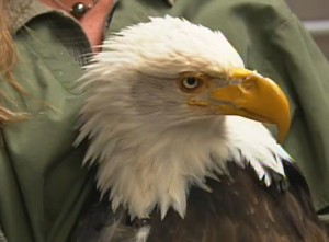 Beauty the bald eagle, Haliaeetus leucocephalus, after her prosthetic beak had been fixed into place.