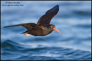 Black Oystercatcher (Haematopus bachmani) flying in Victoria, BC, Canada.