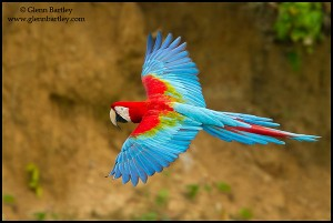 Red-and-green Macaw (Ara chloroptera) flying in Peru.