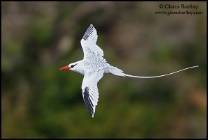 Red-billed Tropicbird flying off the coast of Tobago.