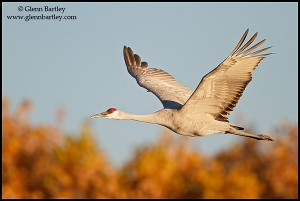Sandhill Crane (Grus canadensis) flying at the Bosque del Apache wildlife refuge near Socorro, New Mexico, USA.