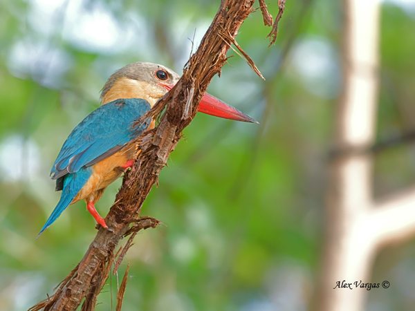 Stork-billed Kingfisher - high up by Alex Vargas
