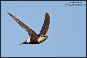White-throated Swift (Aeronautes saxatalis) flying in the Okanagan Valley, BC, Canada.