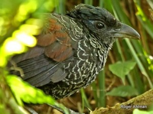 Banded Ground Cuckoo is very illusive and can be hard to see. Photo: Roger Ahlman