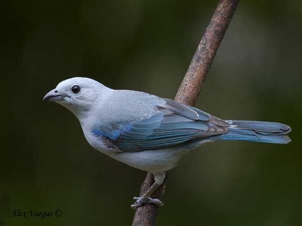 Blue-gray Tanager by Alex Vargas