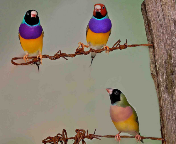 A trio of Gouldian finches, Erythrura gouldiae. Black-headed male (L), red-headed male (R), black-headed female (lower). Image: Sarah Pryke (This image has been cropped).