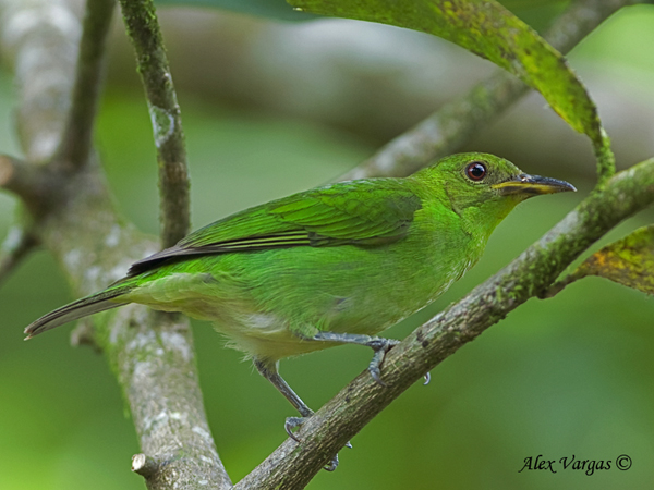 Green Honeycreeper - female by Alex Vargas