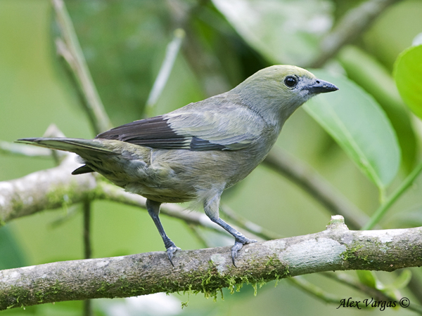 Palm Tanager by Alex Vargas