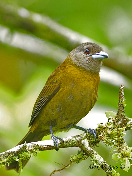 Passerini's Tanager - Female by Alex Vargas