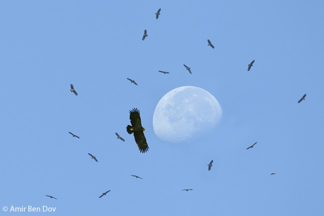 Greater Spotted Eagle with Lesser Spotted Eagles - Ben Shemen