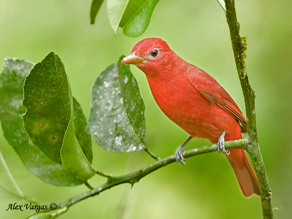 Summer Tanager by Alex Vargas