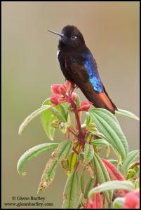 Black-hooded Sunbeam (Aglaeactis pamela)