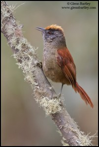 Light-crowned Spinetail (Cranioleuca albiceps)